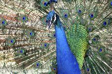 Malaysia, Pangkor Island: Blue Indian Peacock Royalty Free Stock Photos