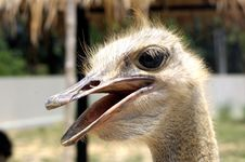 Free Ostrich Royalty Free Stock Photography - 4817267