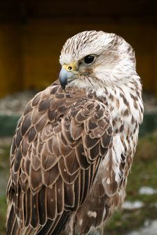 Free Saker Falcon Royalty Free Stock Image - 4817476