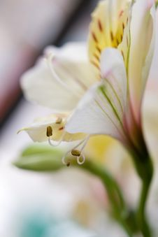 Free Bright Tiger Lily Royalty Free Stock Photo - 4818235