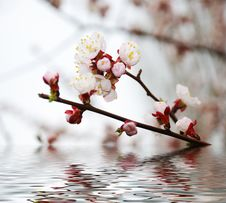 Free Blossoming Branch Stock Photo - 4818510