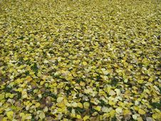 Carpet Of Fallen Leaves Royalty Free Stock Photography