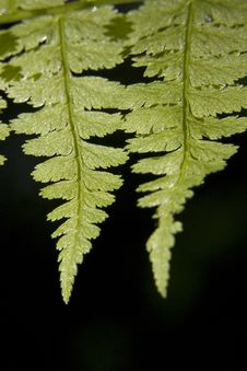 Free Ferns Against Black Stock Photo - 4818550