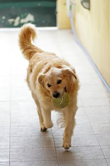 Free Golden Retriever Playing With A Ball Stock Photo - 48154230
