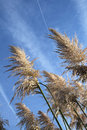 Free Pampas Grass Stock Images - 4823354