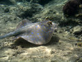 Free Blue Spotted Ray Swimming Royalty Free Stock Photos - 4824478