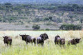 Free Blue Wildebeest Stock Photography - 4825082