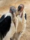 Free Marabou Stork Royalty Free Stock Photography - 4826987