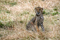 Free Cheetah Cub Sitting In The Grass Royalty Free Stock Images - 4828439