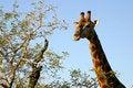 Free Giraffe Head And Neck Stock Photo - 4829060