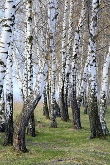 Free Birch Grove Royalty Free Stock Images - 4820309