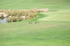 Free Ducks At The Doha Golfclub Royalty Free Stock Photography - 4820357