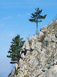 Free Carpathian: Hanging Pines Royalty Free Stock Images - 4820579