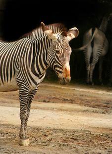 Free Zebra Royalty Free Stock Image - 4821436