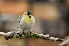 Free Siskin (Carduelis Spinus)1 Royalty Free Stock Photography - 4821477