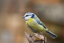 Blue Tit (aka Parus Caeruelus) Stock Photos