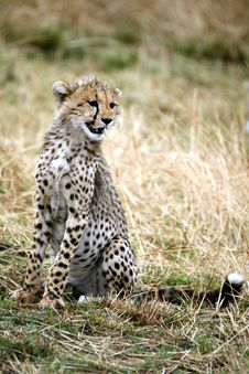 Free Cheetah Cub Sitting In The Grass Stock Photography - 4822532