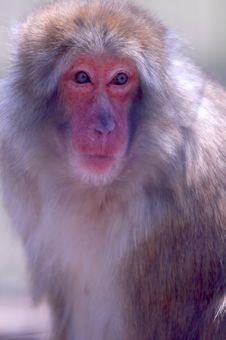 Free Snow Monkey Stock Photo - 4822980