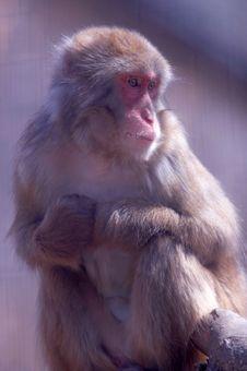 Free Snow Monkey Stock Images - 4823054