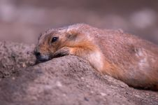 Free Prairie Dog Royalty Free Stock Images - 4823099