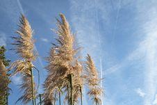 Free Pampas Grass Stock Image - 4823201