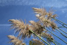 Free Pampas Grass Stock Photo - 4823300