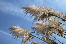 Free Pampas Grass Royalty Free Stock Photos - 4823338