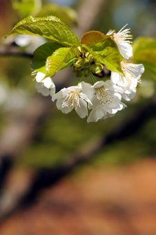 Free Cherry Royalty Free Stock Image - 4823966