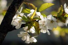 Free Cherry Stock Images - 4823984