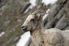 Free Big Horn Sheep Portrait Royalty Free Stock Images - 4823989