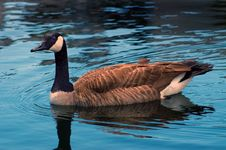 Free Canadian Goose Royalty Free Stock Photos - 4824008