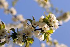 Free Cherry Stock Images - 4824104