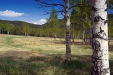 Free Colorado Mountain Forest With Summer Aspen Trees Stock Image - 4824111