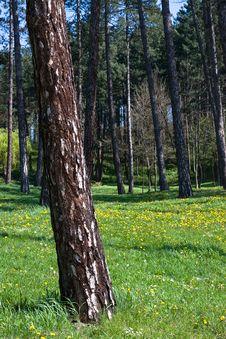 Free Pine Tree Stock Photography - 4824292