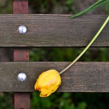 Free Wild Tulip Stock Images - 4824474