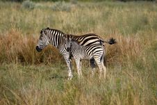 Free Burchells Zebra Stock Images - 4824794