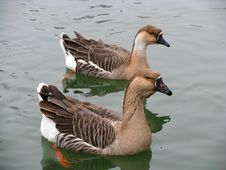 Free Two Geese Stock Photography - 4824812