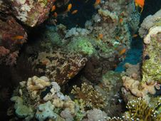 Free Brown Marbled Grouper Stock Images - 4824904