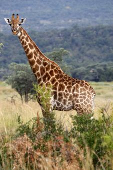 Free Giraffe Royalty Free Stock Photo - 4825005