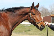 Bay Horse Stock Photos