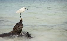 Free Snowy Egret Hunting For Fish I Stock Photography - 4826152
