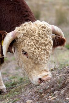Free Hereford Bull. Royalty Free Stock Images - 4826619
