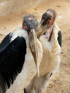 Free Marabou Stork Royalty Free Stock Photography - 4826987