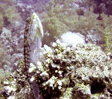 Free Clearfin Lizardfish Royalty Free Stock Photos - 4827118