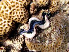 Common Giant Clam Stock Photo