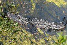 Alligator Sleeping Royalty Free Stock Photography