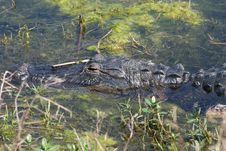 Sleeping Alligator Royalty Free Stock Photos