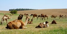 Free Camels Stock Photography - 4828622