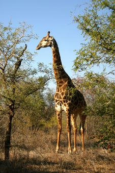 Free Giraffe (South Africa) Stock Photography - 4829142