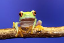 Free Red Eyed Tree Frog Stock Photo - 4829480